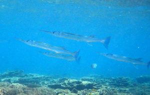 Images of Needlefish