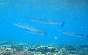 Images of Needlefish