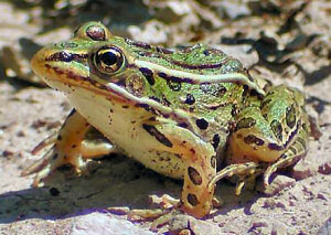 Images of Northern Leopard Frog