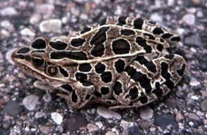 Photos of Northern Leopard Frog