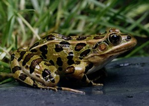 Pictures of Northern Leopard Frog