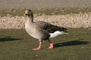 Pink Footed Goose Picture
