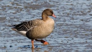 Images of Pink Footed Goose