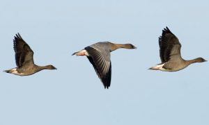 Photos of Pink Footed Goose