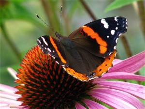 Red Admiral Picture