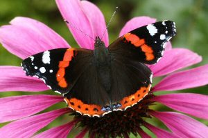 Photos of Red Admiral