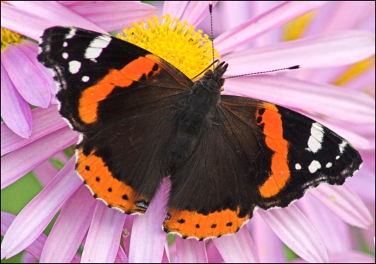 Pictures of Red Admiral