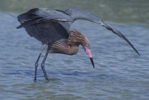Images of Reddish Egret