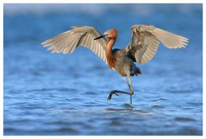 Photos of Reddish Egret