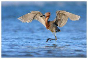 Photos of Reddish Egret