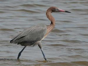 Pictures of Reddish Egret