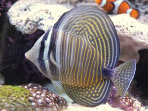 Images of Sailfin Tang
