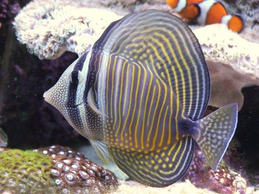 Sailfin tang for Tang saltwater fish