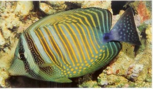 Photos of Sailfin Tang