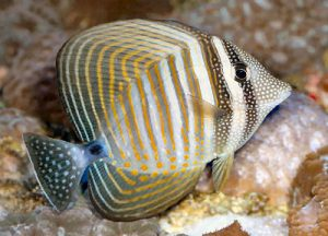 Pictures of Sailfin Tang