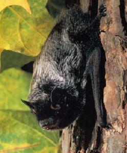 Images of Silver Haired Bat