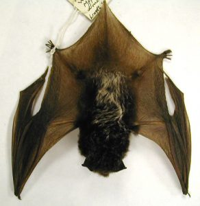 Pictures of Silver Haired Bat