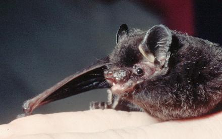 Silver Haired Bat Picture
