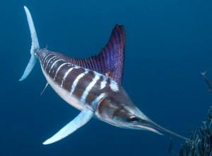 Striped Marlin Picture