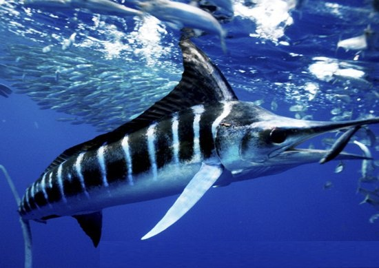 Images of Striped Marlin