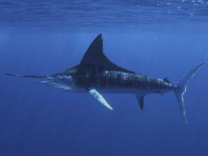 Photos of Striped Marlin
