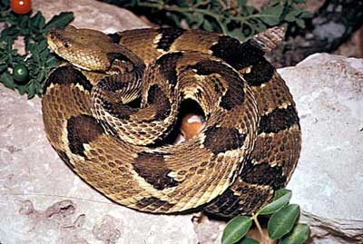 Picture 2 - timber rattlesnake image