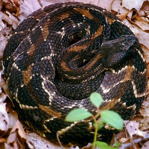 Photos of Timber Rattlesnake