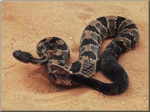 Pictures of Timber Rattlesnake