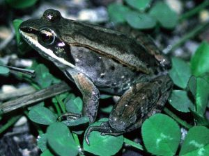 Wood Frog Picture