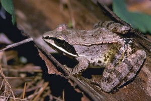 Images of Wood Frog