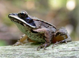 Photos of Wood Frog