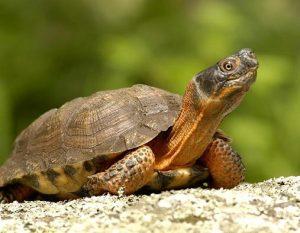 Wood Turtle Picture