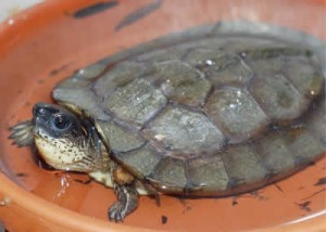 Images of Wood Turtle