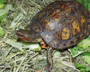 Photos of Wood Turtle