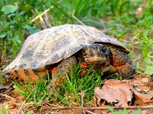 Pictures of Wood Turtle