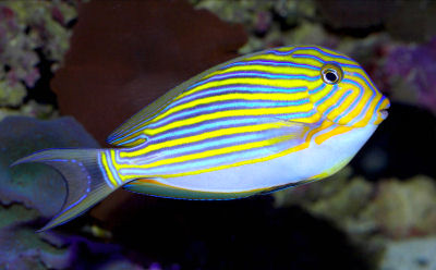 Acanthurus lineatus for Blue tang fish facts