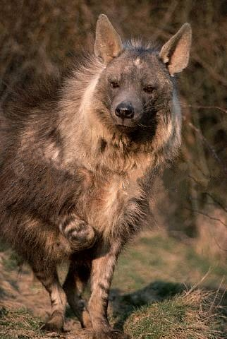 Images of Brown Hyena