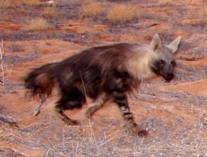 Photos of Brown Hyena