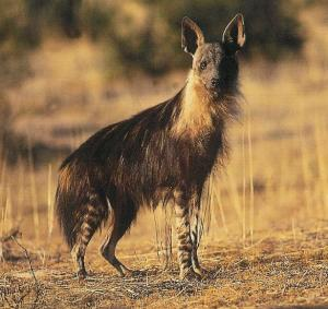 Brown Hyena Picture