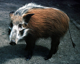 Images of Bushpig