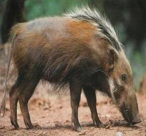 Pictures of Bushpig
