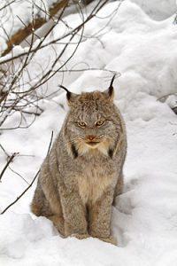 Canada Lynx Picture