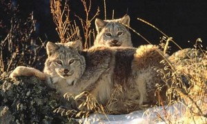 Images of Canada Lynx