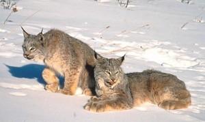 Photos of Canada Lynx
