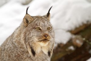 Pictures of Canada Lynx