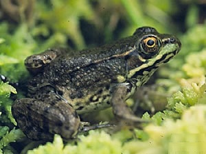 Images of Green Frog
