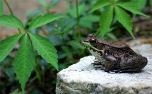 Pictures of Green Frog
