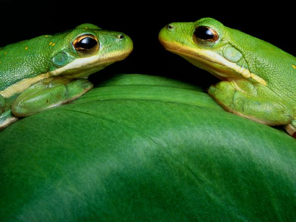 Images of Green Tree Frog Picture 5 Green Tree Frog Image