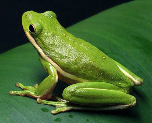 Photos of Green Tree Frog