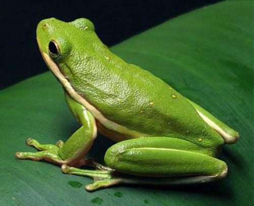 Photos of Green Tree Frog